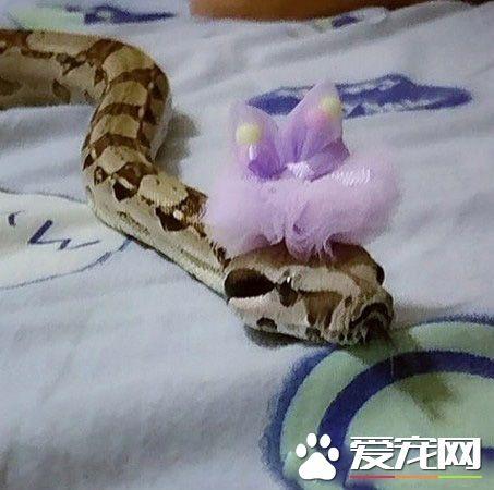 蛇也有亲人的一面 妈妈与蛇一起玩平板超温馨!